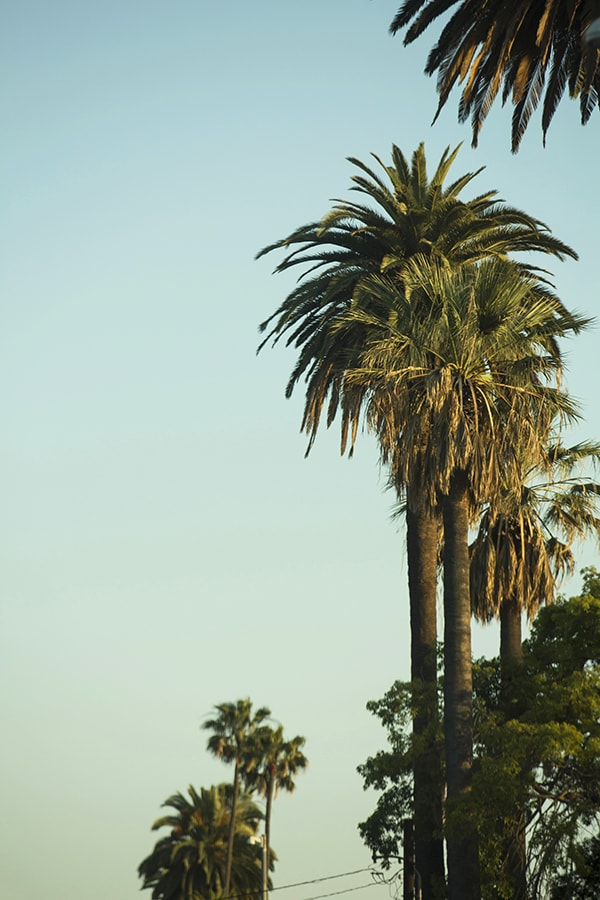 Palm Trees in West Hollywood